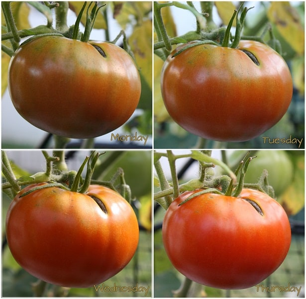 Growing Tomatoes Daily