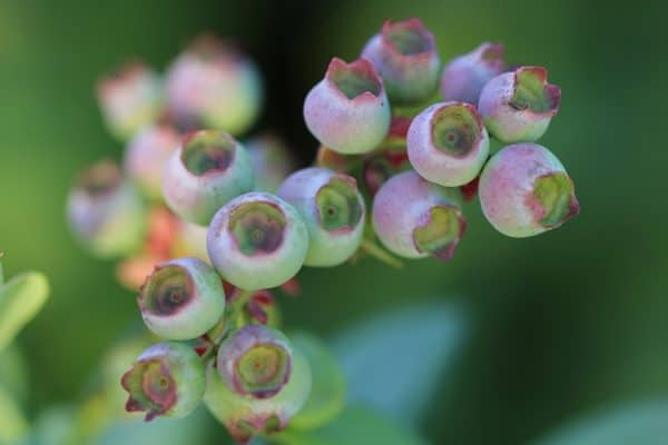 Blueberries Growing