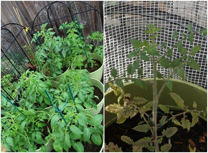Tomato Season Difference