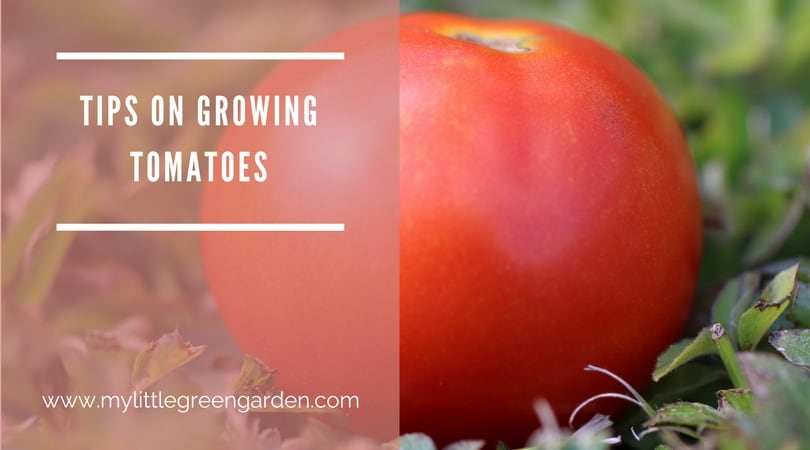 how to grow piccolo tomatoes