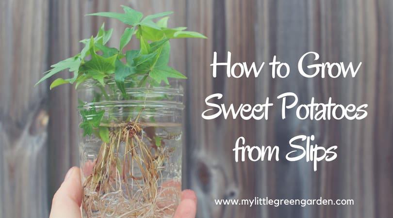 Grow sweet potatoes from slips