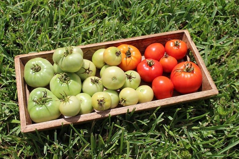 Tomatoes June 2018's Backyard Garden Update