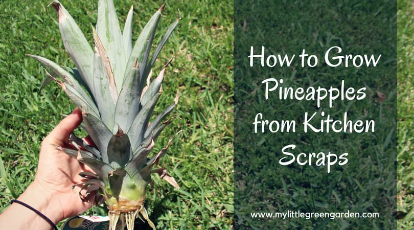 How To Grow Pineapples from Kitchen Scraps