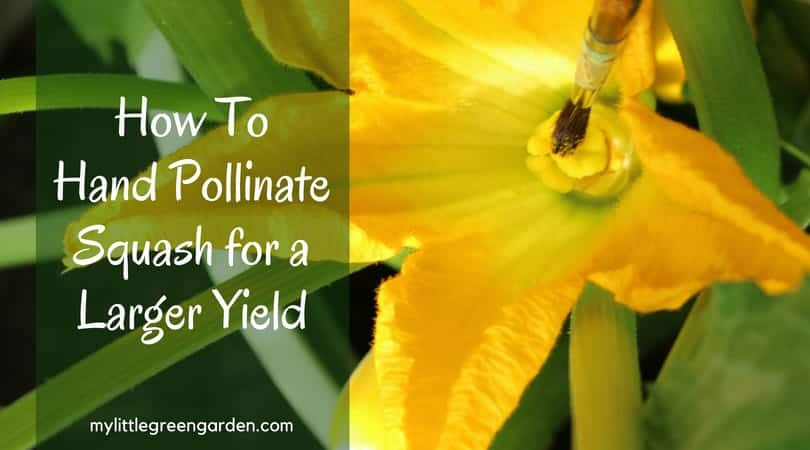 How To Hand Pollinate Squash