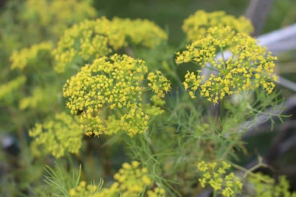 Dill - Culinary Herbs to Grow