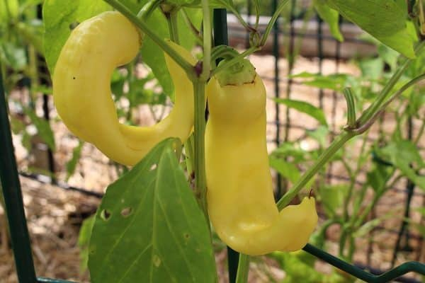 Banana Peppers Growing