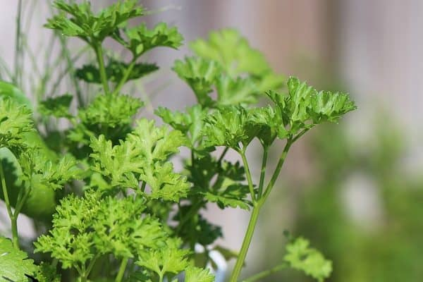 Parsley - Culinary Herbs to Grow