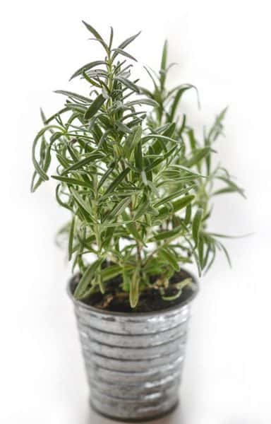 Rosemary - Culinary Herbs to Grow