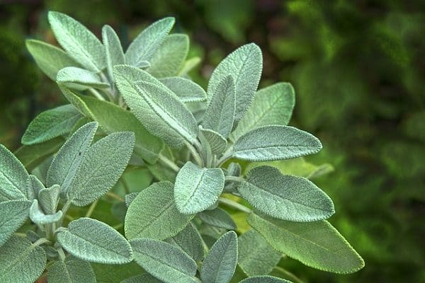 Sage - Culinary Herbs to Grow