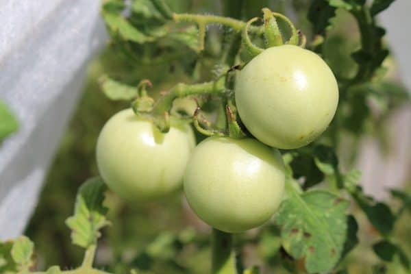 Tomatoes Growing