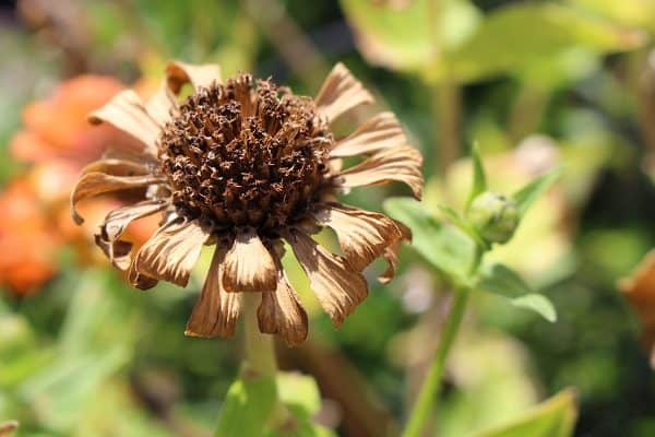 Dried Zinnia