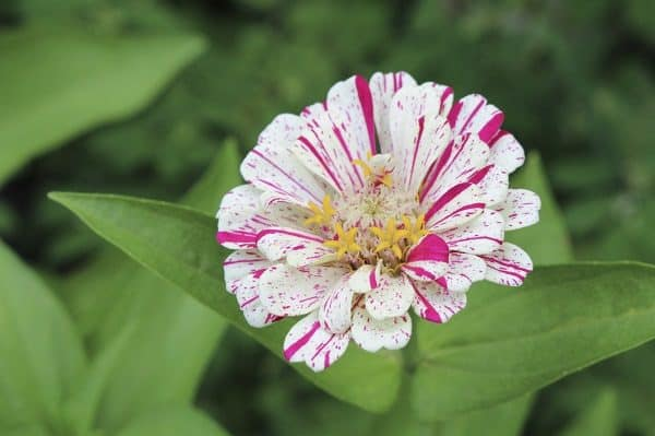 White and Pink Stripped Zinnia