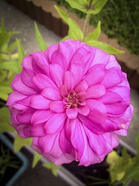 Double Flowered Zinnia