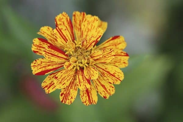 Yellow and Red Stripped Zinnia